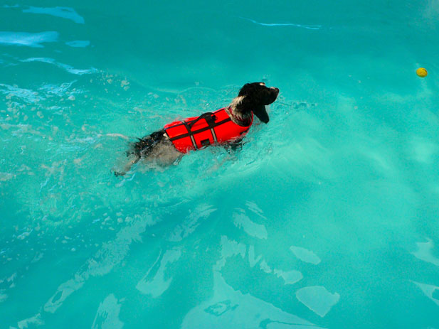 Welcome to The Wickham Canine Rehabilitation Centre, Benji swimming in the hydrotherapy pool
