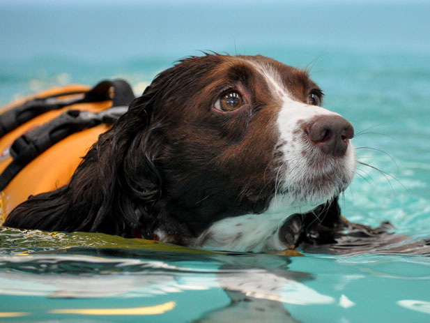 Welcome to The Wickham Canine Rehabilitation Centre, Oscar swimming in the hydrotherapy pool